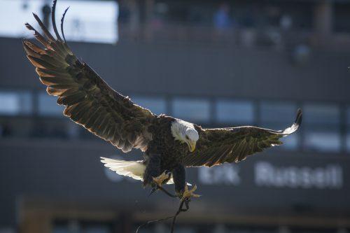 Georgia Southern Eagles live eagle