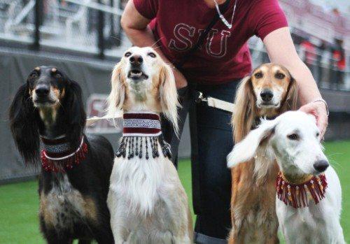 SIU Southern Illinois Salukis dogs