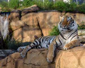 Mike LSU Tigers live mascot
