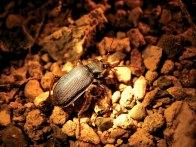 Campilita-beetle