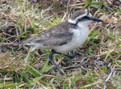 Wirebird, St Helena Island
