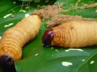 Duimdikke larven die met regelmaat op het menu staan - dead or alive