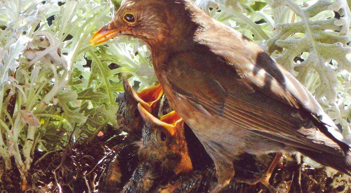 Amsel am Nest, Foto Bernd Weber