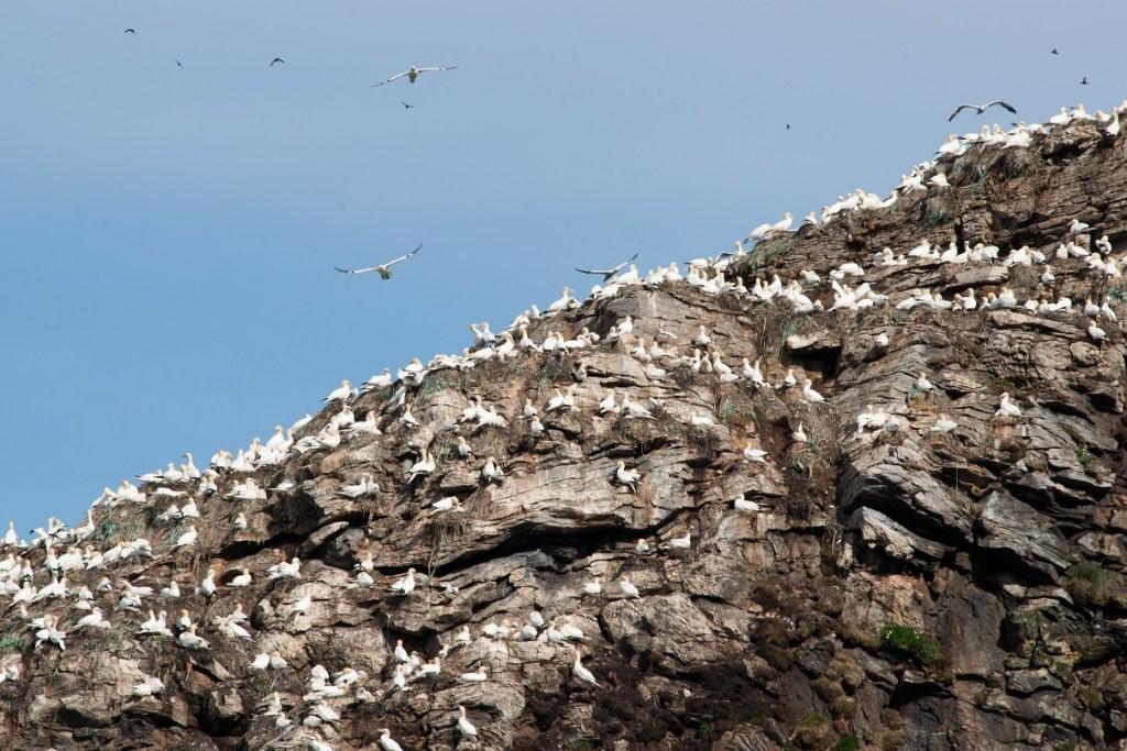 Gjesværtappan, et av Norges største fuglefjell