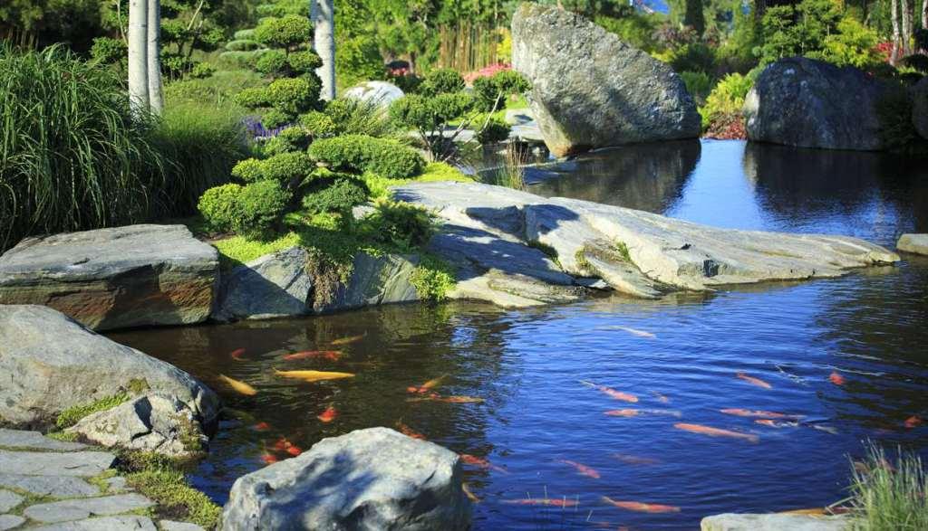 Gullfisk i dammen