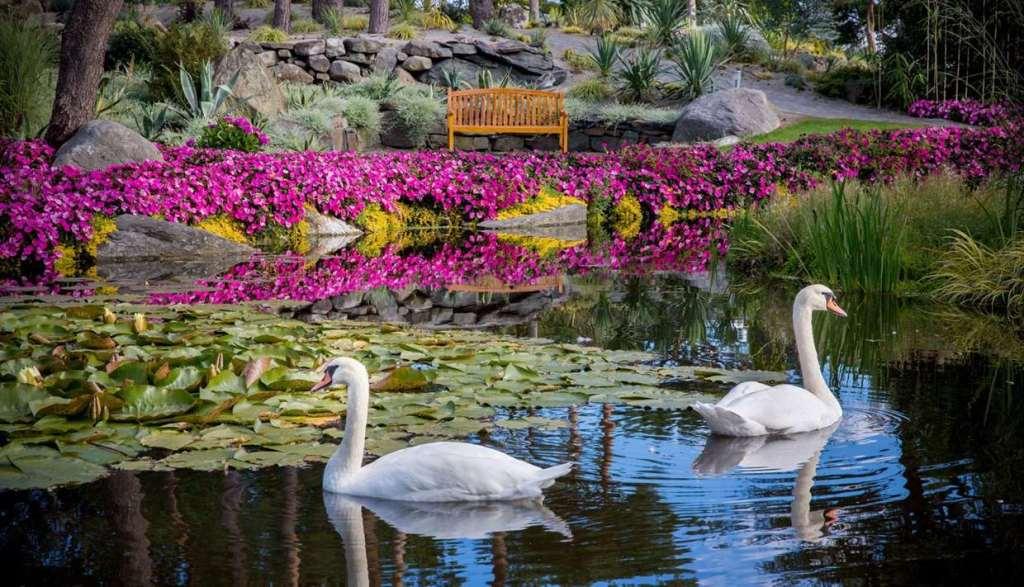 Svaner vannliljer blomster benk i parken