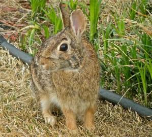 bunny, rabbit, Easter, Spring