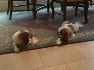 Sophie, Fergus, blogging, random, Cavalier King Charles Spaniel, S. A. Young, C. C. Cedras