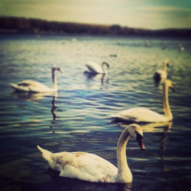 labudovi na reci