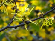 So many small views to delight, this of the newly opened flowers of Witch Hazel.