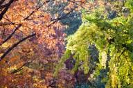 Red Oak and Ginkgo