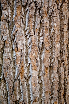 The beautiful bark of Tulip Poplar.