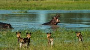 """A standoff between the thirsty wild dogs and the hippo defending his """"turf."""""""