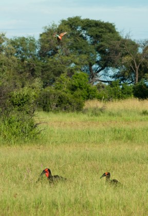 A Bee Eater swoops over the two Hornbills