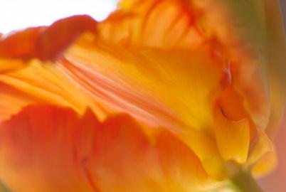 Tulip-7854