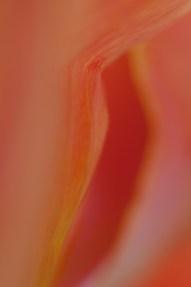 Tulip-7889