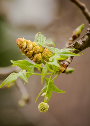 Sweet Gum about to burst into bloom.