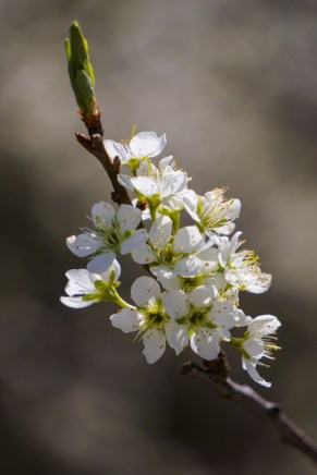 Plum blossoms, among the sweetest smelling of all blooms