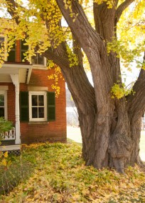 I wonder who dug the hole and planted this Gingko in Montpelier 140+ years ago.