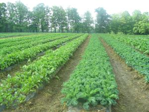 Great row of kale, Stillman