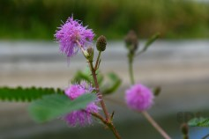 Mimosa pudica.