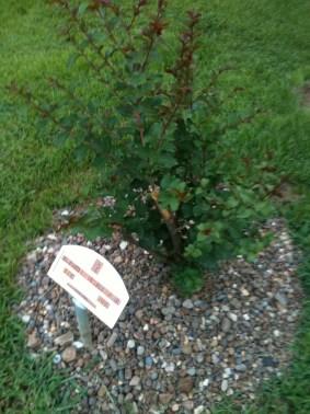 austins-new-tree