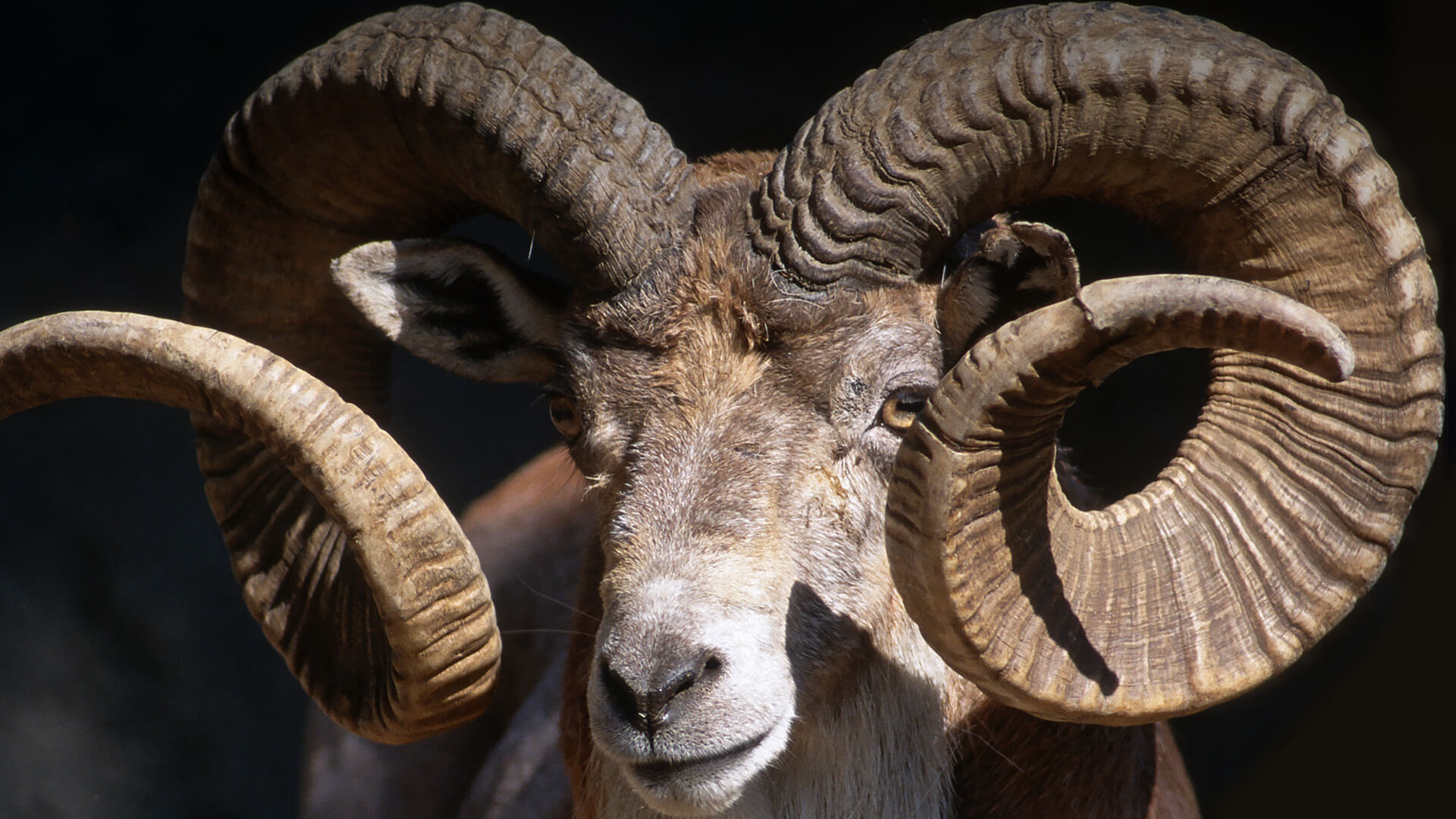 13 Interesting Facts About The Male Bighorn Sheep Ram