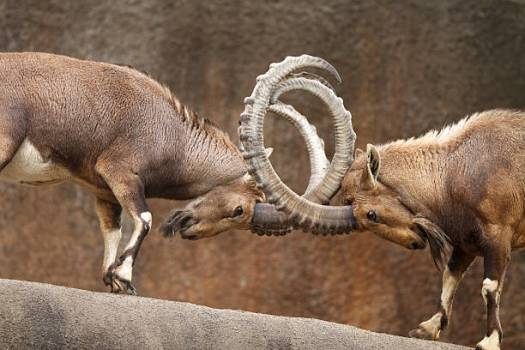 13 Interesting Facts About The Male Bighorn Sheep 'Ram ...