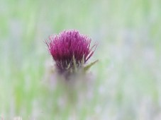 A Beautiful Italian Thistle Flower