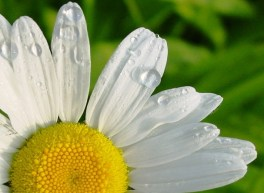 Dew Drops on the Petals of a White Daisy