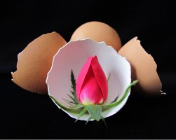Eggexceptional Rose