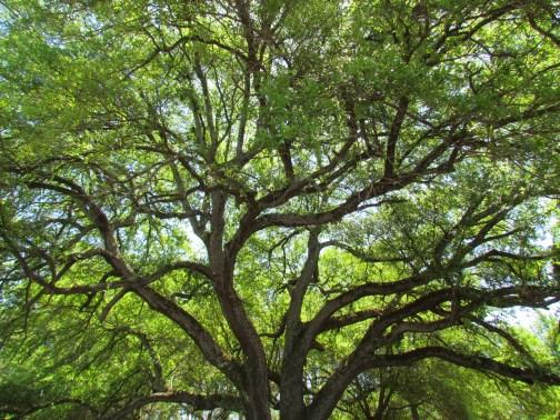 Expanding Oak