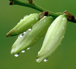 Pearls of Dew