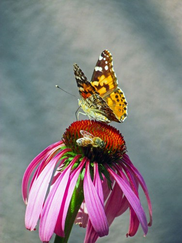A bee and a butterfly on top of a flower.