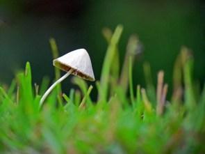 A little mushroom in the grass.