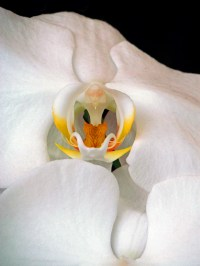 Macro nature photograph of a white orchid.