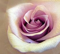 Pale pink rose unfolding.