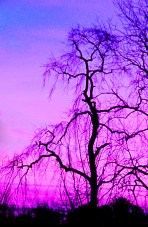 Silhouette of a tree at sunrise.