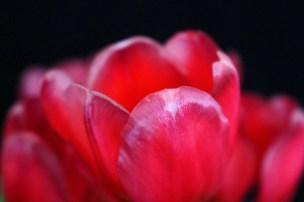 macro nature photography red tulip