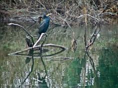 River Lagan Cormorant