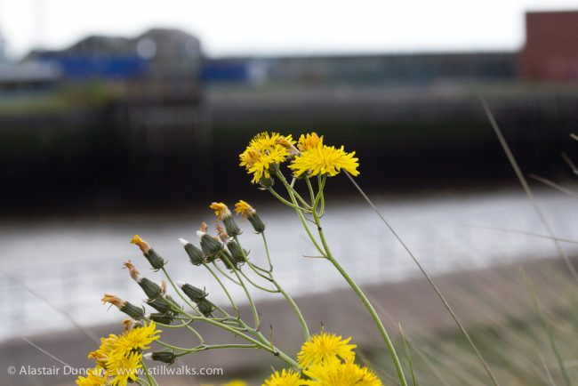 wildflowers and Tawe river mouth