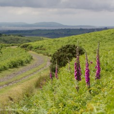 Foxgloves and footpath