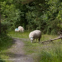 sheep in the way