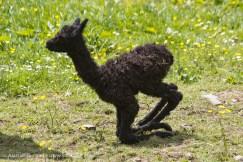 new born alpaca
