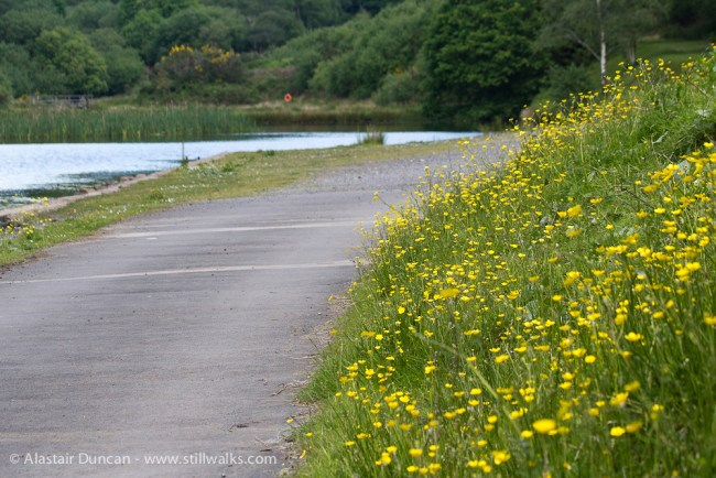 buttercups in the valley
