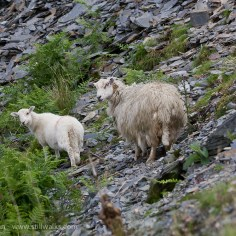 Sheep on mountainside