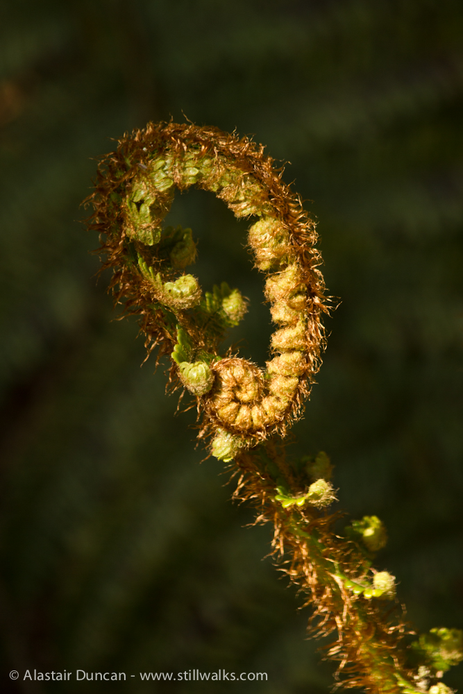 Unfurling forest fern