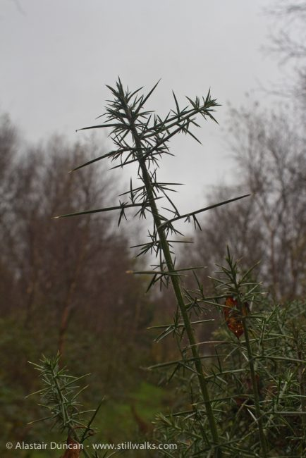 Forest Gorse in November