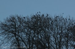 Penclawdd rookery