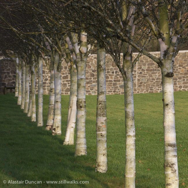 Birch Tree Perspective